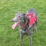 Blue is a Lurcher adopted from Greyhound Gap in Stoke. He is a shy boy but is amazingly loving, affectionate and loyal once he gets to know you!