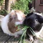 Delilah and Betsy were rescued from Cavy Corner, after they had been bought for a child who did not like them - it looks like they landed on their paws the second time around with a family who loves them.