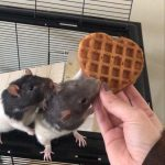 Eddy and Teddy were rehomed directly from a family who could no longer look after them. They are a pair of fancy rats who love waffles!