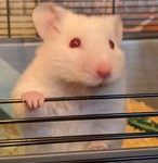Gizmo is a Syrian Hamster who was given up to the Pets at Home adoption centre when his family could no longer care for him. Despite being overlooked for adoption because of his red eyes, he has a really sweet temperament and has now found his loving forever home