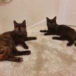 Ivy and Loki were rescued from the Cat Rescue and Welfare Trust in Escrick as semi-feral kittens - and have undergone an amazing transformation with their patient owners from having never been indoors before, to being cuddly lap cats!