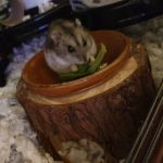 Marigold is a dwarf hamster who was rescued from Austins Hamster Haven - she looks like shes got a lovely new home!