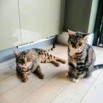 Milo and Tiggy were adopted separately from Band of Rescuers - Milo had been abandoned and Tiggy had once been semi-feral, but you wouldnt know it now!