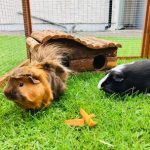 Norman and Simba are guinea pigs rescued from Tees Valley Guinea Pig Rescue - look at that mane!