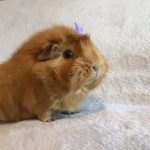 Piper the guinea pig was rehomed directly from a family who could no longer keep her - although they do still keep in touch to make sure she is getting on well in her new home!