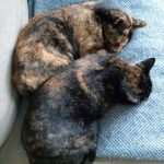 Sisters Possum and Pixel were adopted together from York Cats Protection over 3 years ago now - they look super chilled!