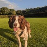 Spike the springer spaniel was adopted from Dogs Trust about 10 years ago now, after a series of unsuccessful homes. With a little love and patience, he is now 15 and is loved by his whole family.